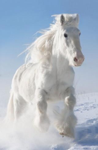 白色马图片