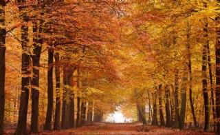秋天楓樹林圖片