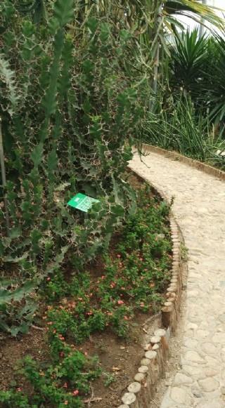 小徑旁的仙人掌圖片