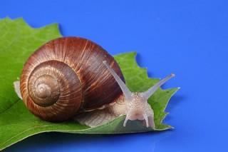 葉子上的蝸牛
