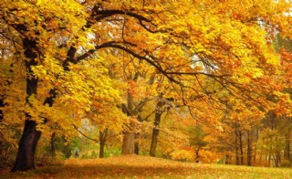 秋天的楓樹林圖片